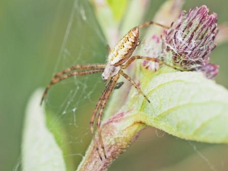 A.bruennichi