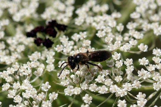 A.nitidiuscula