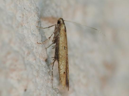 B.pinicolella