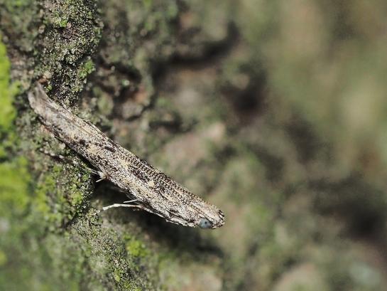 B.praeangusta