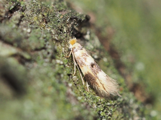 B.thoracella