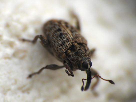C. capucinus