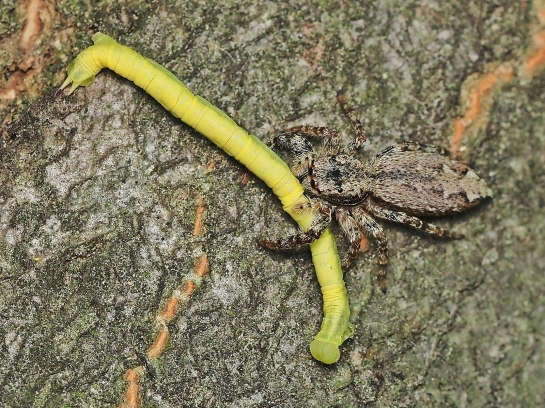 Ch.siterata + M.muscosa