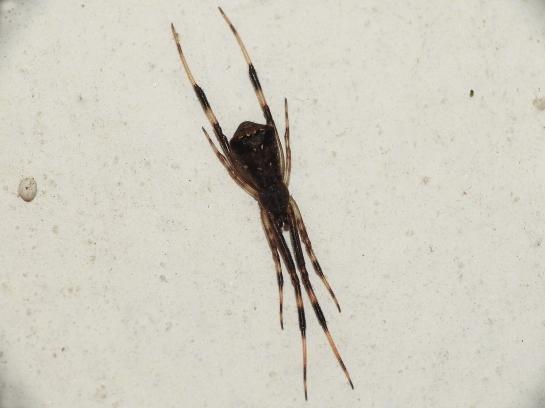 Ep.angulatus