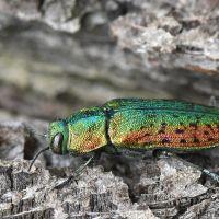 Buprestidae - Bogatkowate
