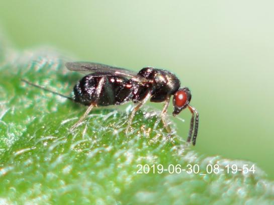 M.obscurus