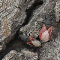 Oxycarenus lavaterae - Skupieniec lipowy