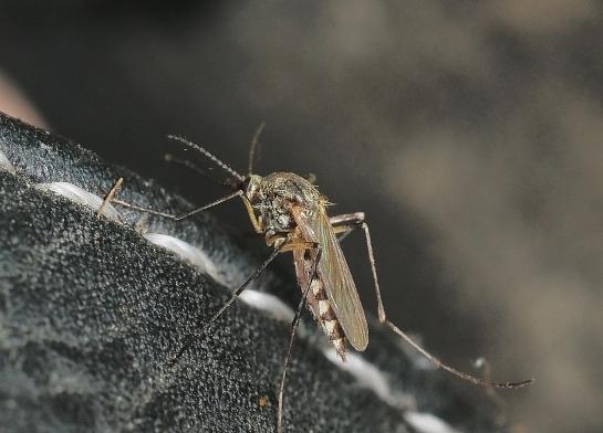 Ochlerotatus female