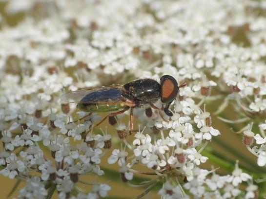 Od.angulata