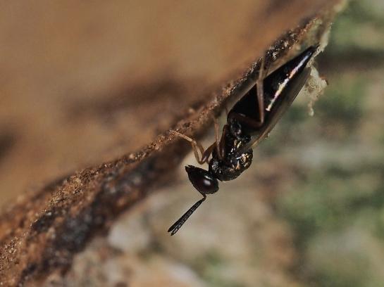 P.affinis