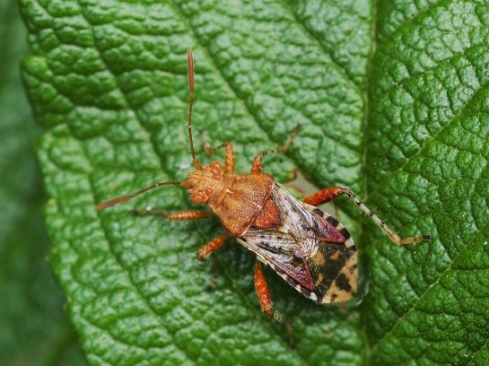 R.subrufus