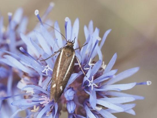 S.knochella