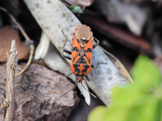 S.pandurus