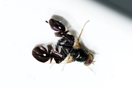 A.coryli.