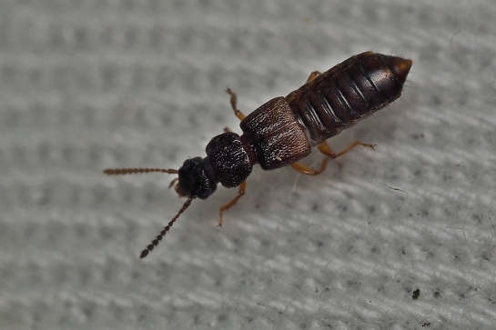 A insecatus