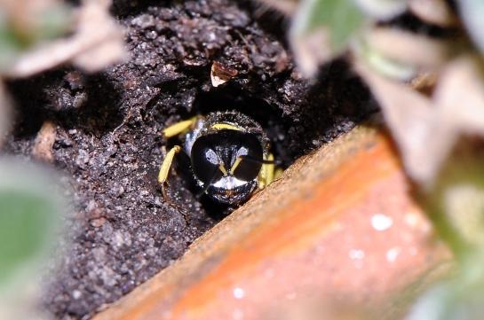 C.vagabundus