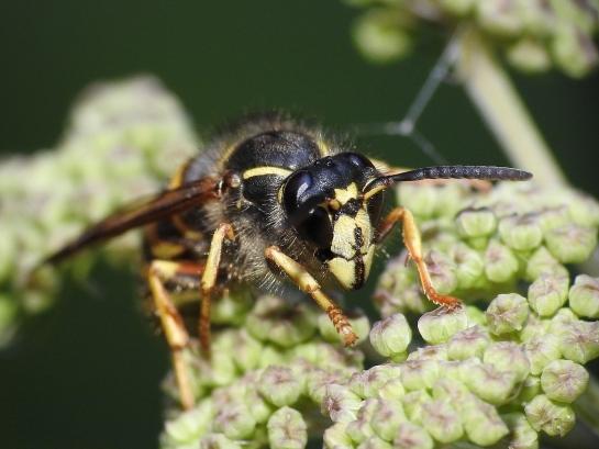 D.saxonica