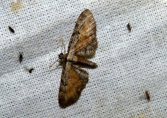E.icterata