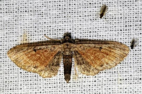 Eup.icterata