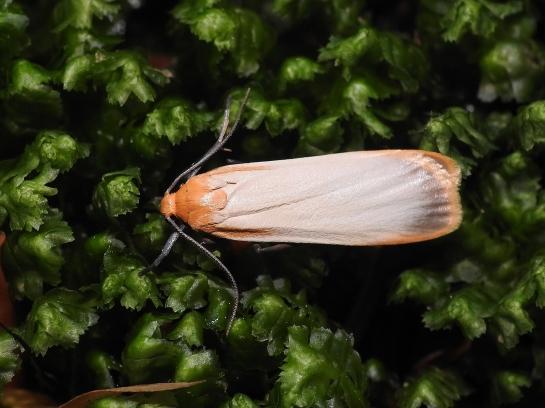 Katha male