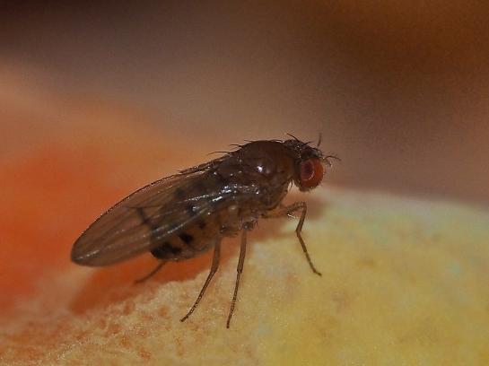 L.maculata