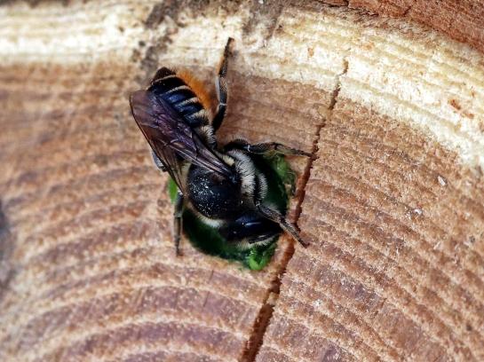 M.centuncularis