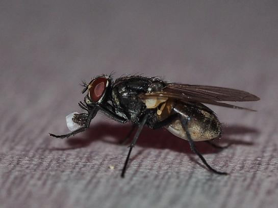 M.domestica