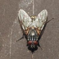 Muscidae - Muchowate