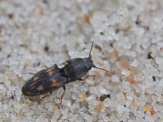 N.sabulicola
