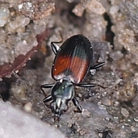 Carabidae - Biegaczowate