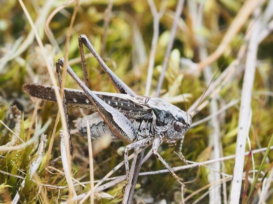 P.albopunctata