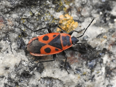 P.apterus