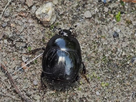 S.semistriatus