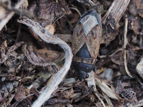Trapezonotus