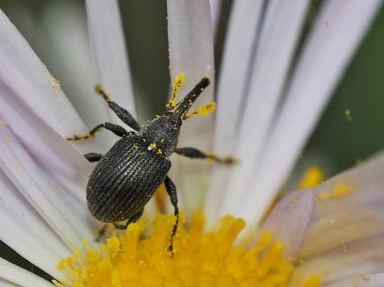 A.rubi