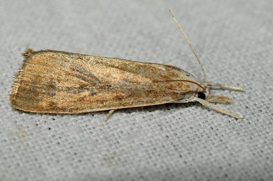 A.starminella