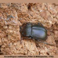 Tenebrionidae - Czarnuchowate