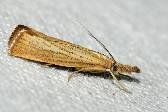 Agr.starminella