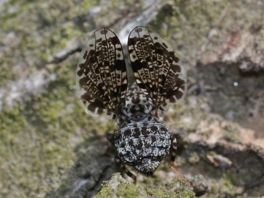 C.annulipes