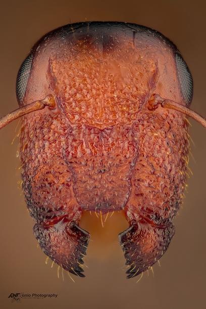 C.truncata
