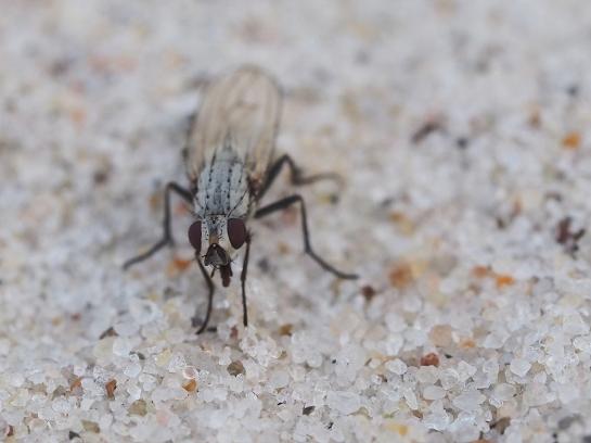 D.albula