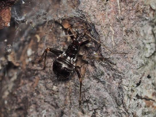 H.mirmicoides nymph