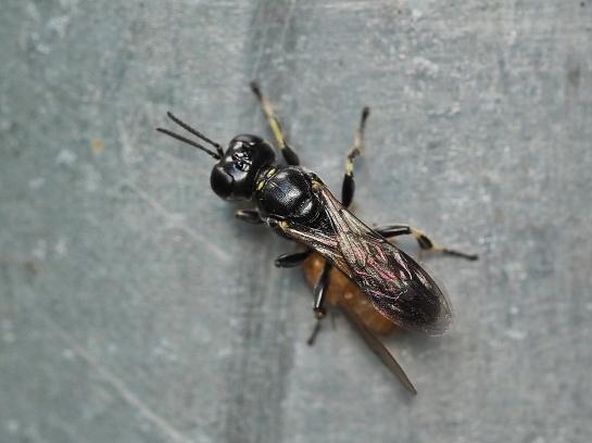 L.albilabris
