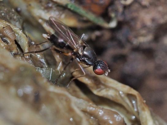 Nemopoda female