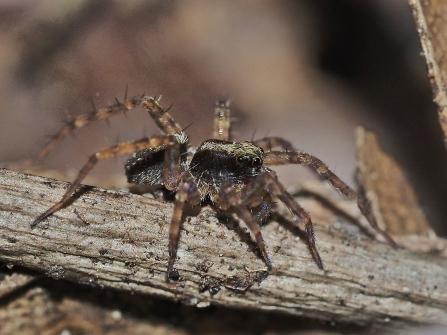 Pardosa species