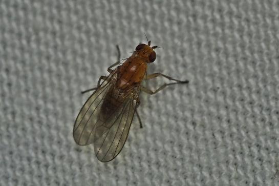 S.bicolor
