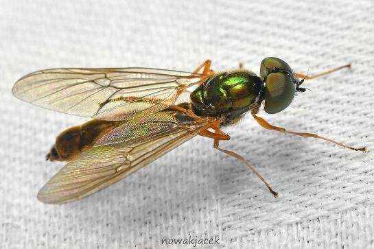 S.bipunctatus