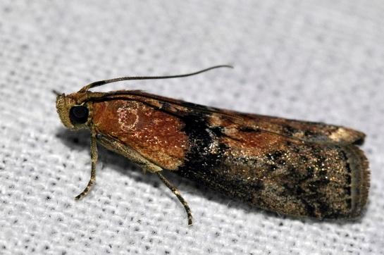 Sc.adelphella