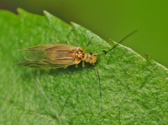 V.flavidus