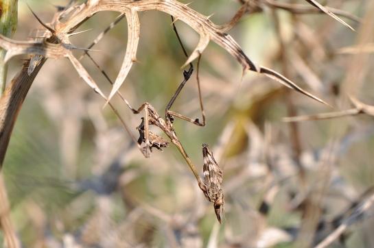 E.fasciata